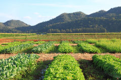 Lettuce farm Stock Photography