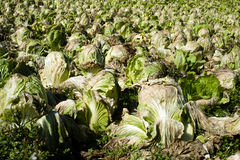 Lettuce farm Stock Image