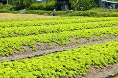 Lettuce farm Royalty Free Stock Photography