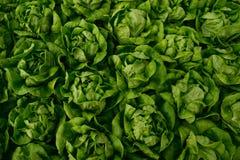 Lettuce farm Stock Photo