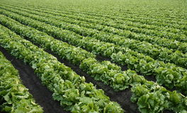 lettuce farm background Stock Image