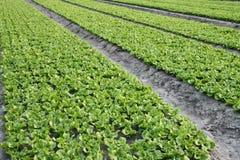 Lettuce Farm Background Stock Image