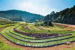 Lettuce. Farm lettuce Field in THAILAND Stock Photography