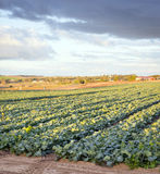 Lettuce Farm Royalty Free Stock Photos