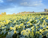 Lettuce Farm Royalty Free Stock Images