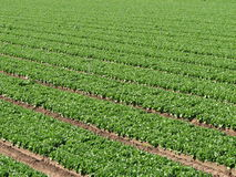 Lettuce farm rows. Rows of irrigated lettuce on a farm in southern California Stock Photography