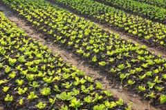 Lettuce field. In bright sunlight Royalty Free Stock Photo