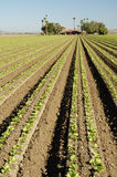 Lettuce field Stock Photos