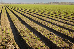 Lettuce field. Lettuce seedlings in a field in Arizona Royalty Free Stock Photography