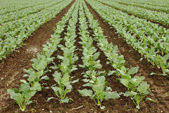 Lettuce field Royalty Free Stock Images