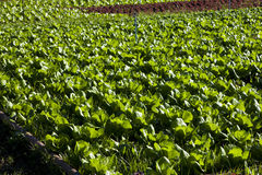 Lettuce field Stock Images