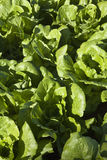 Lettuce field Royalty Free Stock Photos
