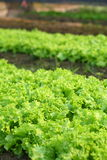 Lettuce in field Stock Photos