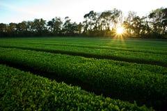 Lettuce field Stock Photos