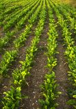 Lettuce field. Rows of lettuces at sunset stock image