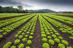 Lettuce field. In rows under stormy skies Royalty Free Stock Photography
