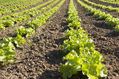 Lettuce in a field Royalty Free Stock Photography