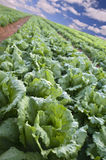 Lettuce field Royalty Free Stock Photo