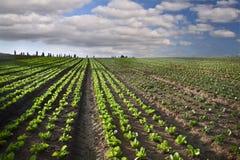 Lettuce field. In the Sharon region, Israel Stock Image