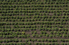 Lettuce field, agricultural field Royalty Free Stock Photos