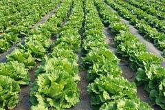 Lettuce field. The background of lettuce field Stock Photo