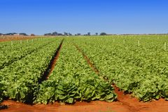 Lettuce field on a bright day. Field of lettuce neatly cultivated in rows in a rich reddish soil Stock Photography