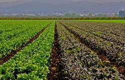 Lettuce field. Central California, Ventura.  Variety of letuce planted in rows Royalty Free Stock Images