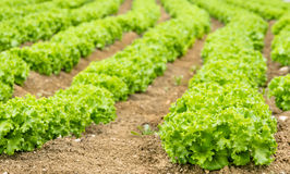 Lettuce Field Royalty Free Stock Photos