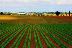 Lettuce field in Israel. Typical agricultural landscape of the central Israe Stock Photo