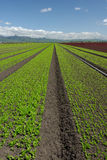Lettuce Field Landscape: Green Vertical. Wide angle view of rows of green and red lettuce. Picture taken on the central coast of California, USA Royalty Free Stock Photos