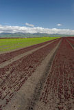 Lettuce Field Landscape: Red Vertical. Wide angle view of rows of green and red lettuce. Picture taken on the central coast of California, USA Stock Photos