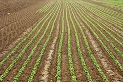 Lettuce field lines Stock Photo