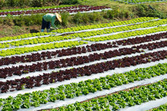 Lettuce. Field in  Nognhoy THAILAND Stock Images