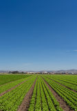 Lettuce Field Panorama. Panoramic Vertical  View of Newly Planted Lettuce Field in Salinas, California Royalty Free Stock Image