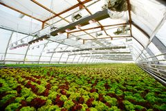 Lettuce field. Perspective view of long plantation with growing lettuce heads of green and brown colors in glasshouse Stock Images