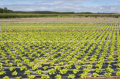 Lettuce field in the plain of the River Esla Stock Photography