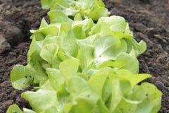 Lettuce in field Stock Photography