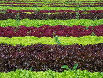 Lettuce field. Rows of different sorts and colors of lettuce. Charming lettuce field with graphical effect of rows and colors. Organic production of vegetables Stock Photo