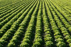 Lettuce field in Spain. Green plants perspective Royalty Free Stock Photo