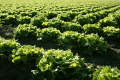 Lettuce field in Spain. Green plants perspective Royalty Free Stock Photography