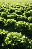 Lettuce field in Spain. Green plants perspective Stock Photo