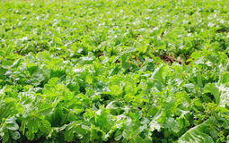 Lettuce in field Stock Photography