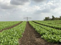 Electric pull in the middle. Lettuce field under cloudy sky Royalty Free Stock Photography