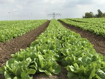 Electric pull in the middle. Lettuce field under cloudy sky Stock Photos