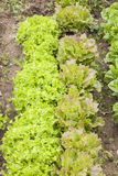 Lettuce field. On a vegetable garden. Vertical format Royalty Free Stock Photo