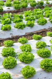 Lettuce fields Royalty Free Stock Photography
