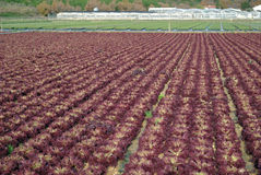 Lettuce in the fields Royalty Free Stock Images