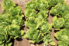 Lettuce fields Stock Photography