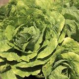 Lettuce fields Stock Photos