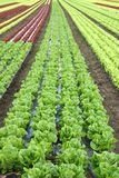 Lettuce in the fields Stock Image